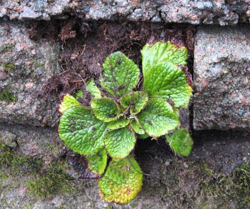 växter i klippskrevor